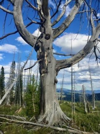 Whitebark Pine photo