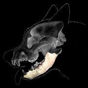 Photo of dog's skeletal head