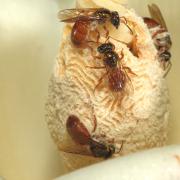 Bees on Balsa photo