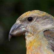 Crossbill bird photo