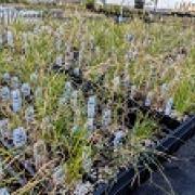 North American shortgrass