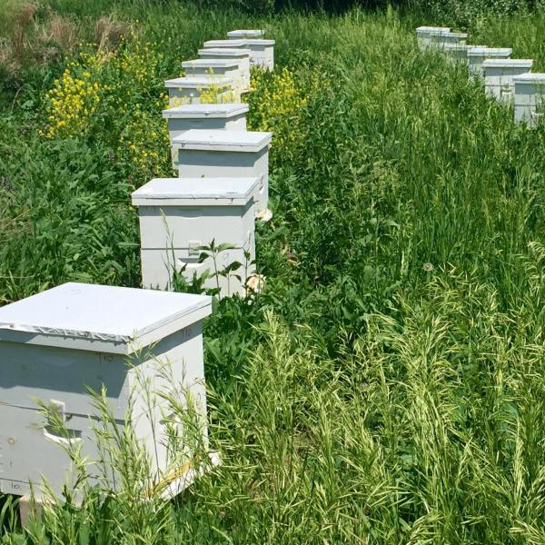 Rows of beehives