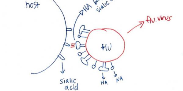Example of a microbiology drawing