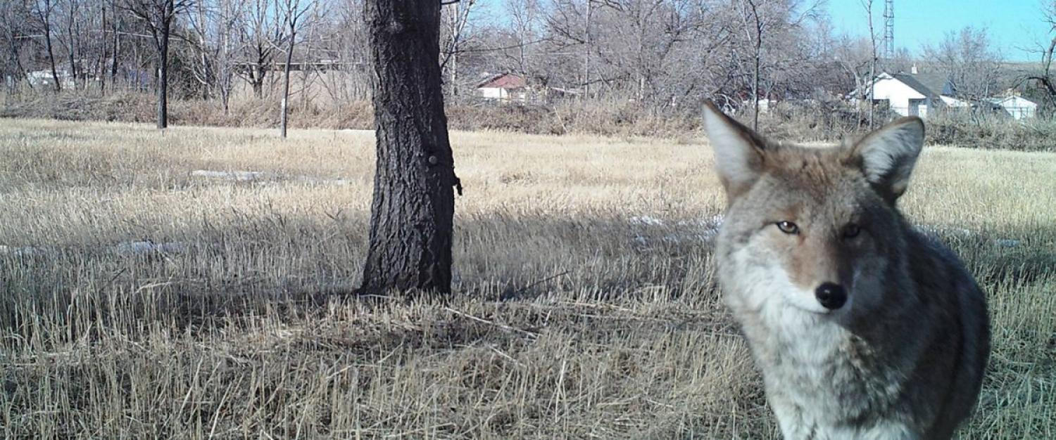 Coyote standing in a field