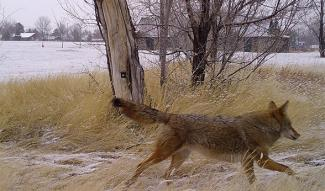 Coyote running past the camera