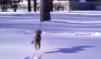 Squirrel jumping towards the camera in the snow