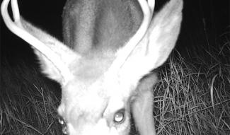 Deer at night sniffing camera