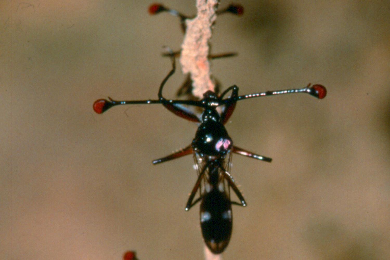 Stalk-eyed flies on root hair