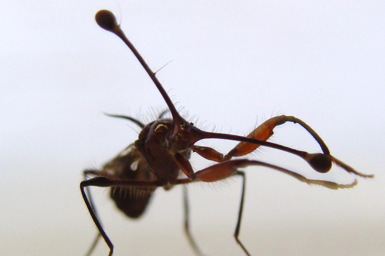 Stalk eyed fly combing eyestalk