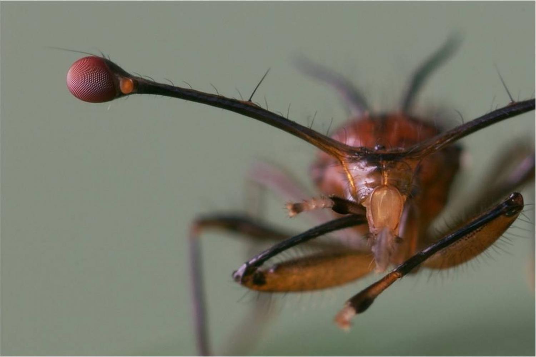 Photo of stalk-eyed fly
