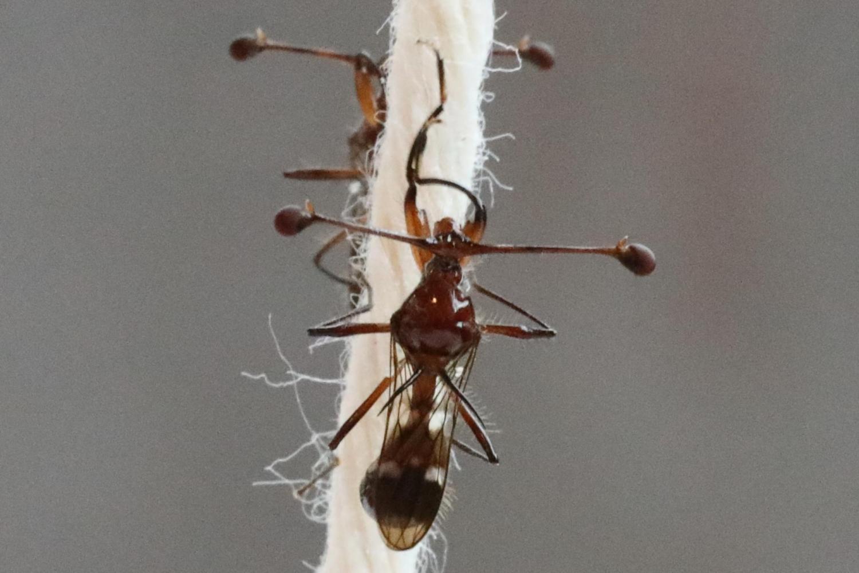 Stalk-eyed fly grooming